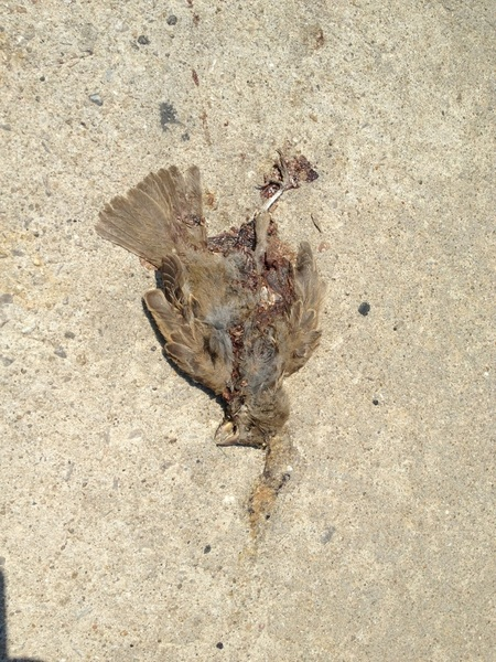 Squished but dried up sparrow...
