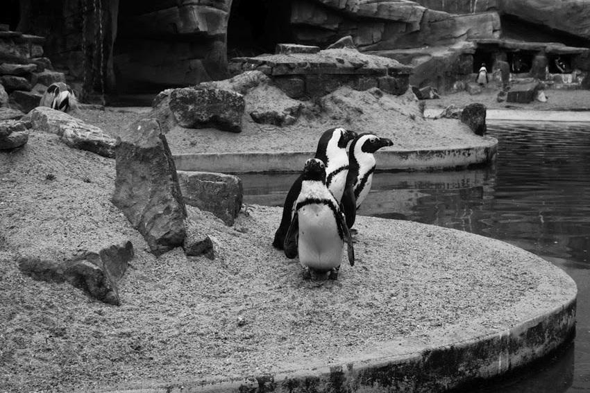 pinguïns #artis