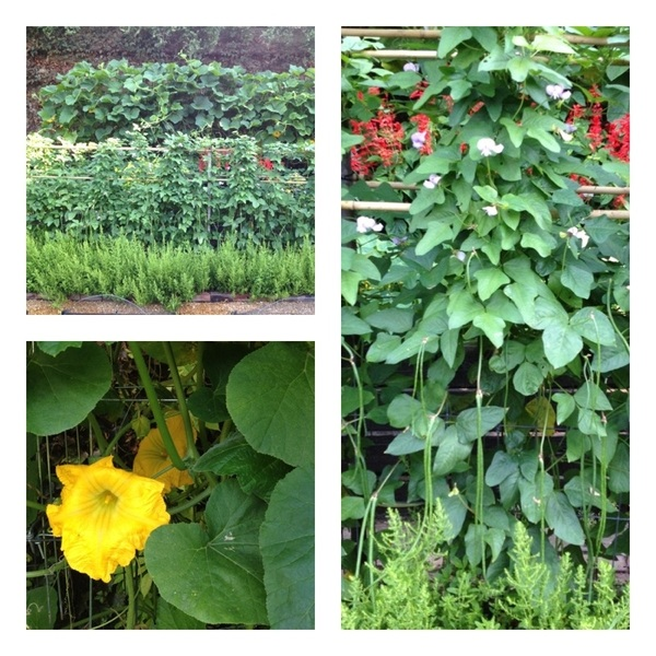 Today is a beautiful day in my garden! Long beans and squash blossoms are in full production.