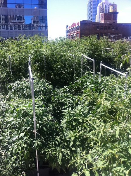 & here's what it looks like RT @katiesmith48 I love that ur restos have a rooftop garden 2 grow their own tomatoes