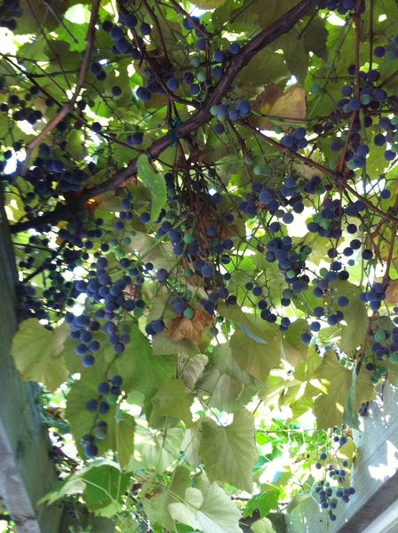 Starting to pick grapes at my house. Soon to show up in Frontera