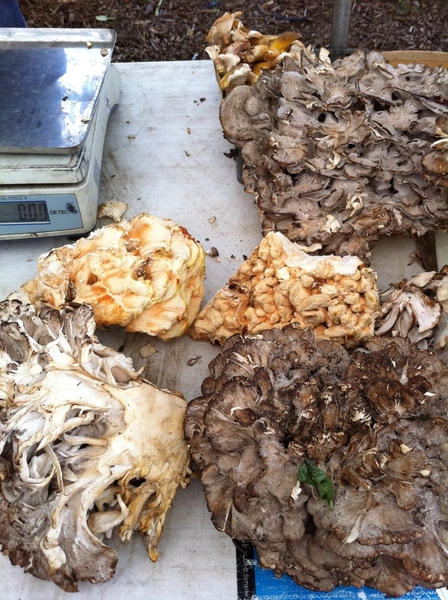 Nichols Farm has huge amounts of wild hen of the woods & honey mushrooms in their stall at Wicker Park farmers mkt