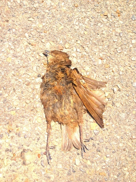 Very flat ... dead bird....been dead for a while .