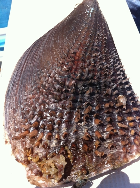Mon, Magdalena Bay BCS: shell of enormous callo de hacha/hatchet scallop native here. 