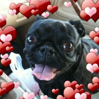 @VeronicaVice I have a black pug. My friends have 3 poms &amp; they&#039;re always yapping. Here&#039;s Raven. 