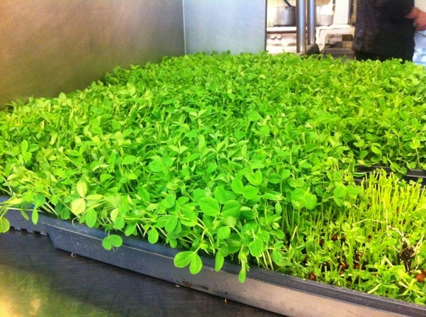 Pure springtime with these lovely pea shoots--lots and lots of pea shoots