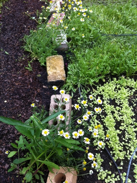 Chamomile in my garden is ready for picking