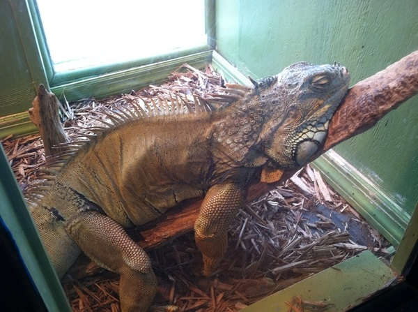 Here's Elvis the Toots Iguana who survived the 2011 tornado. (allegedly)