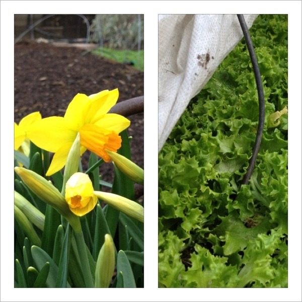 Daffodils and early lettuce ready to harvest on March 15 in Chicago!  What several days of 70-80 degrees will do.