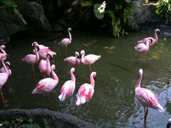 Flamingos at the Animal Kingdom