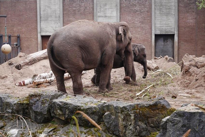 olifanten #artis